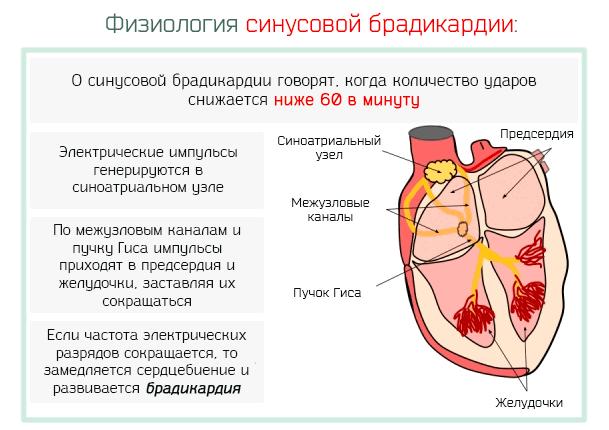 Физиология синусовой брадикардии
