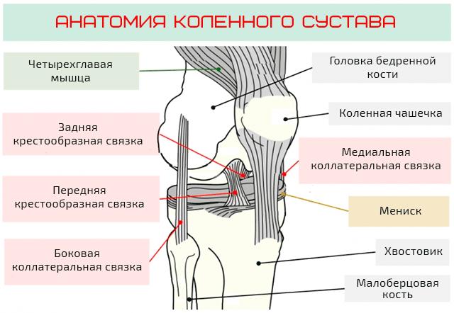 Общая анатомия коленного сустава