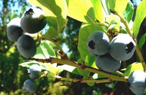 Плоды черники на ветке молодого куста