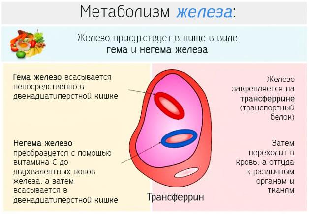 Как проходит метаболизм железа в организме человека