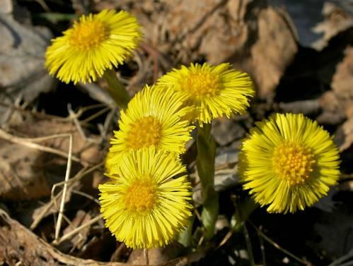 Цветки мать-и-мачехи среди жухлой листвы