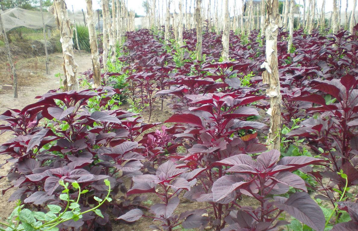 Садик пряных трав – ароматная грядка на участке, На грядке ()