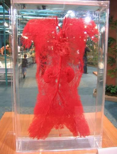 Модель системы кровеносных сосудов человека