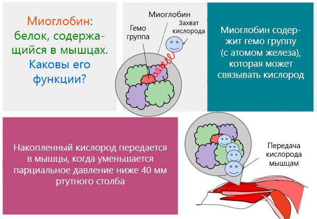 Миоглобин – белок, содержащийся в мышцах – функции