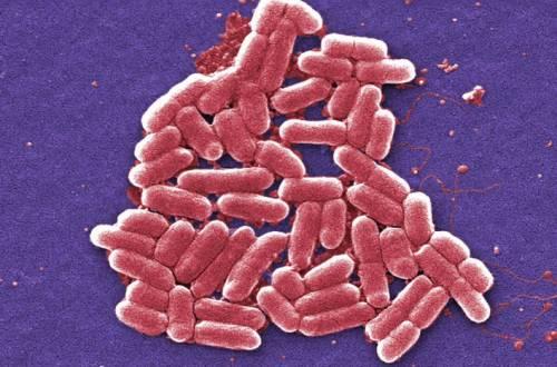 Бактерия Shigella увеличение в 6836 раз