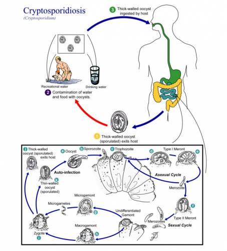 Протисты Cryptosporidium – цикл жизни