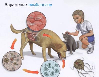 Как происходит заражение лямблиозом