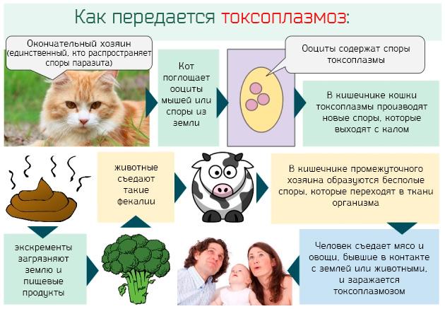 Как происходит заражение токсоплазмозом человека от кошки
