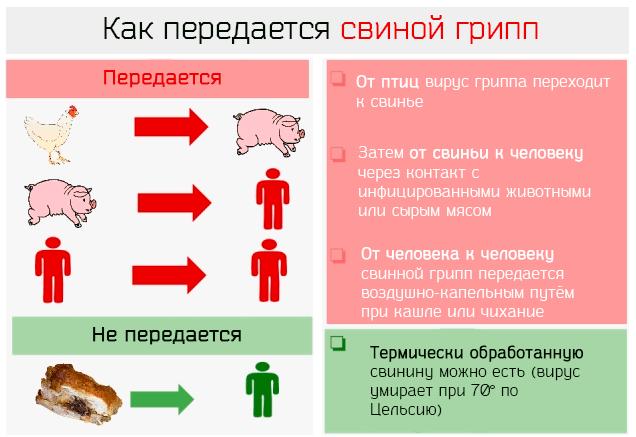 Как человеку передается свиной грипп