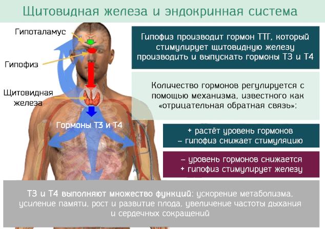 Связь щитовидной железы и эндокринной системы