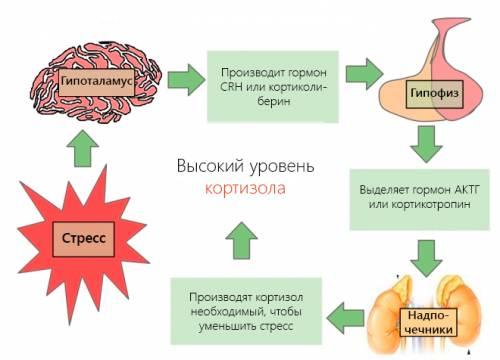 Как растет уровень концентрации кортизола в крови