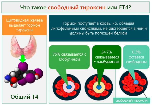 Щитовидная железа выделяет гормон – тироксин