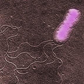 Бактерия bartonella проникают в организм человека, в основном, через царапины животного