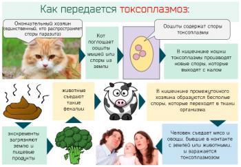 Токсоплазмоз гонди симптоматика и основные пути заражения