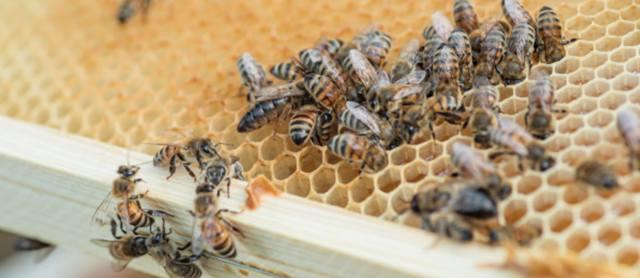 Пчёлы на сотах едят мёд и кормят матку