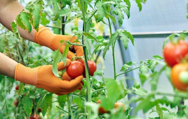 Женщина собирает спелые помидоры для получения ликопина