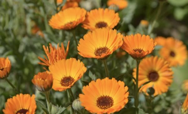 Цветущая желто-оранжевым календула