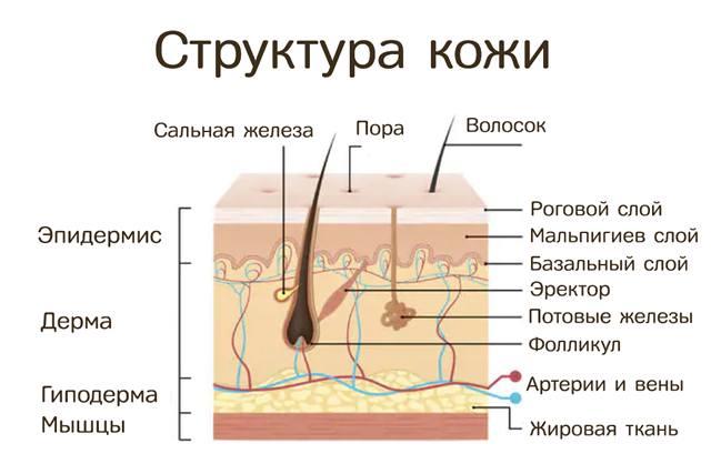 Структура слоёв кожного покрова человека