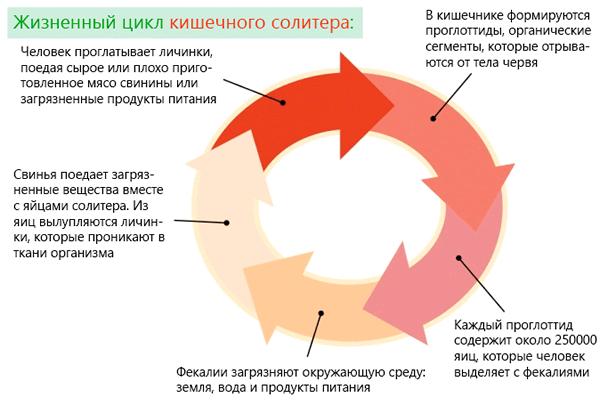 Жизненный цикл кишечного солитера человека