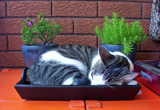 Кот, спящий в лотке для цветов