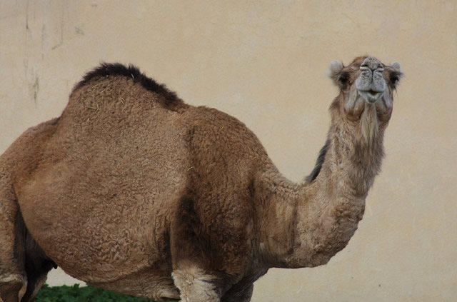 Одногорбый верблюд держит осанку