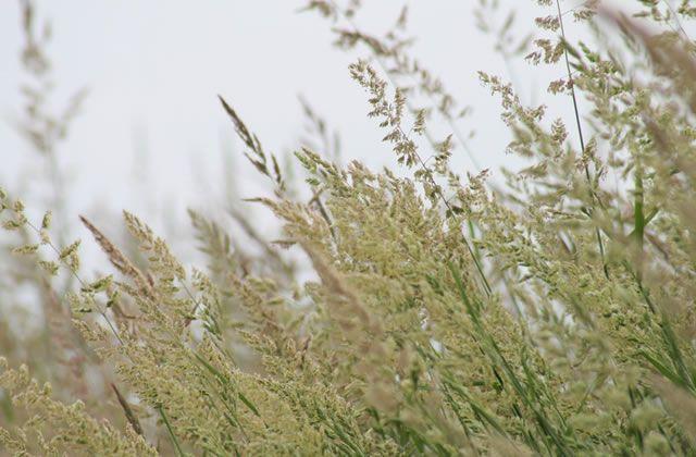 Заросли двукисточника интенсивно производящие аллергенную пыльцу