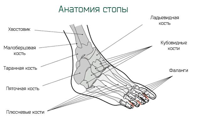 Краткая анатомия костей стопы ног