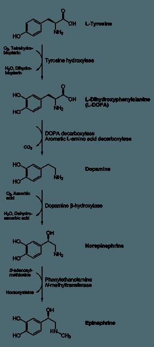 Биосинтез катехоламинов в организме человека