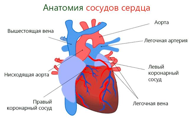 Анатомия сосудов сердца
