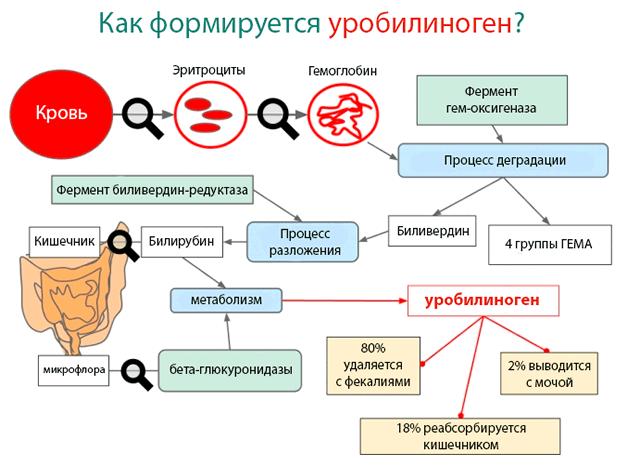 Как формируется уробилиноген – каскад реакций