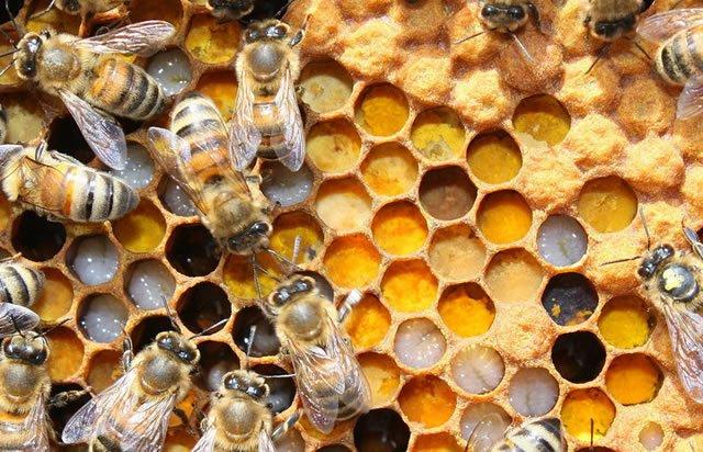 Пчелы запасают цветочную пыльцу на зимовку