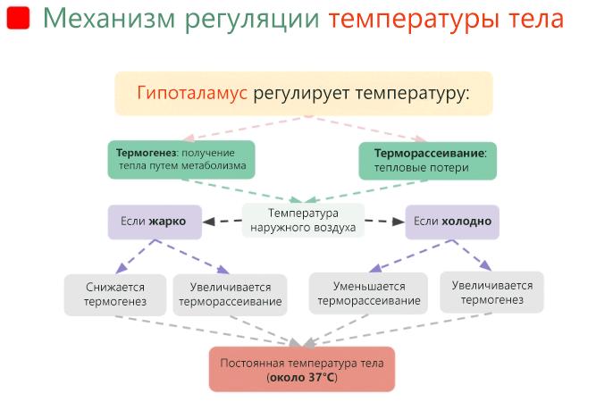 Механизмом регуляции температуры тела управляет гипоталамус