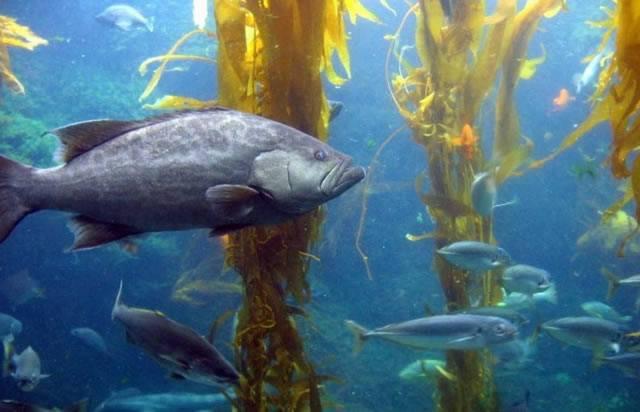 Морские рыбы, плавающие между стеблями водорослей