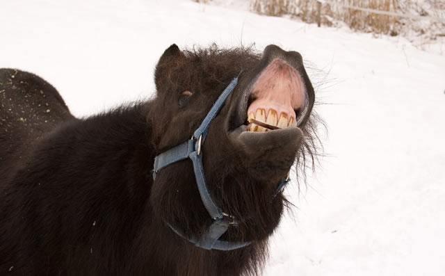 Ржущий черный конь показывает зубы