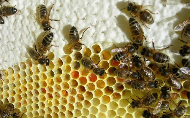 Медоносные пчелы упаковывают мёд и пыльцу в соты