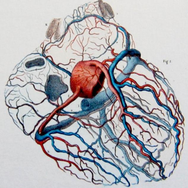 Схема коронарных сосудов сердца человека