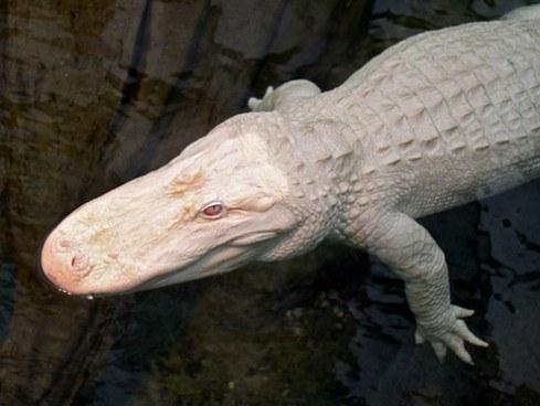 Альбинизм у аллигатора