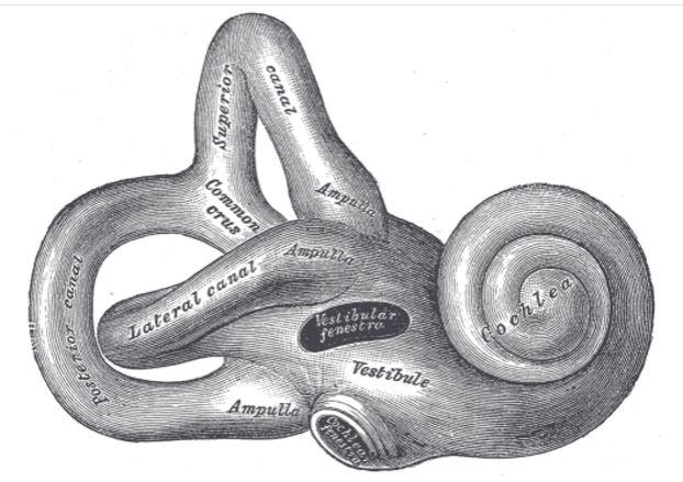 Лабиринт внутреннего уха человека