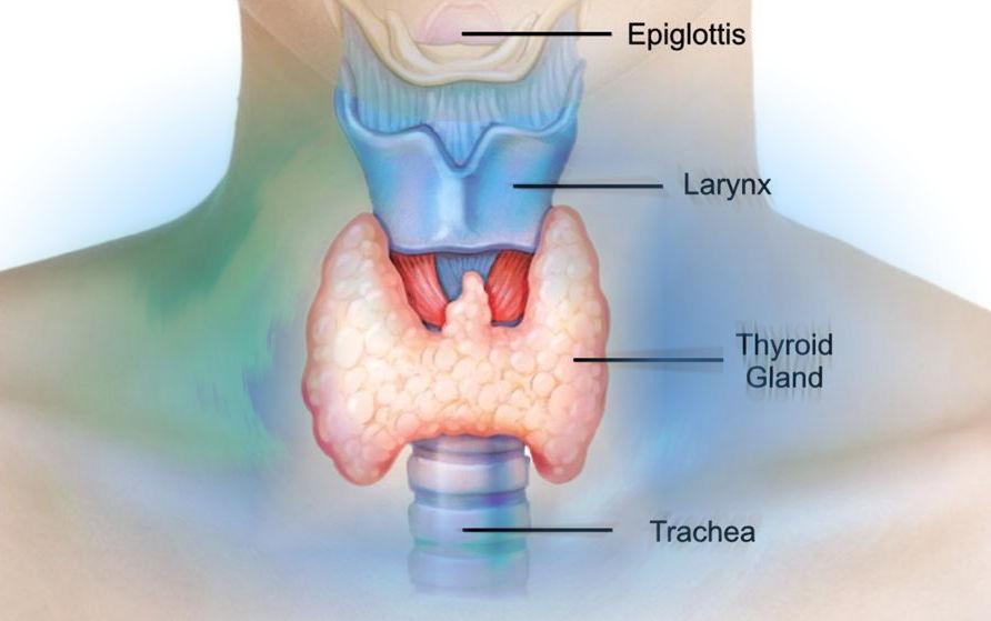 Положение щитовидной железы на шее