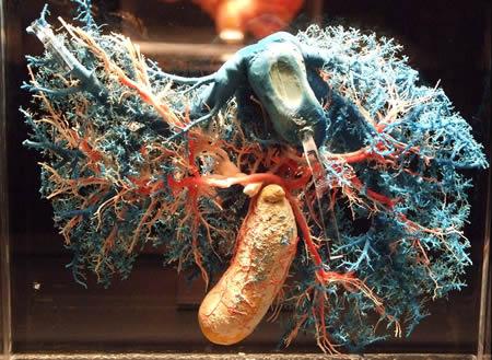 Кровеносные сосуды печени человека