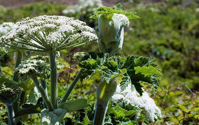 Молодое растение борщевика Сосновского