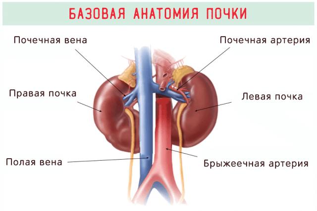 Базовая анатомия почек человека – сосуды и расположение