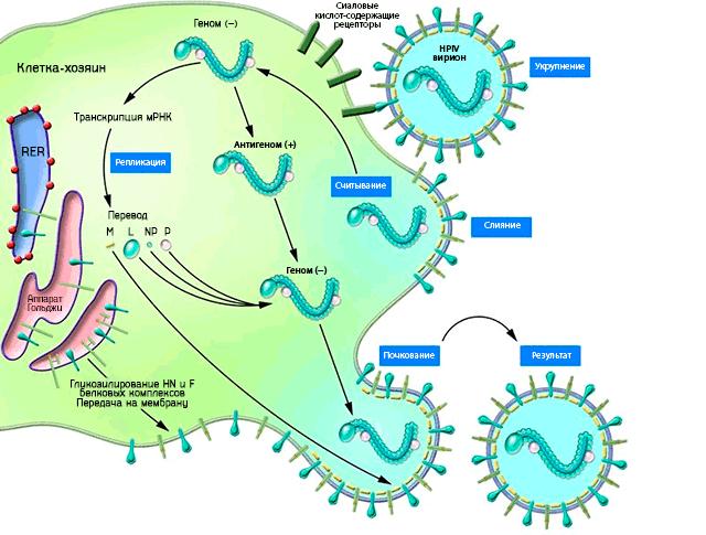 Схематическая иллюстрация жизненного цикла вирусов парагриппа