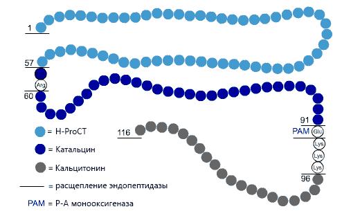 Схематичное изображение аминокислотной последовательности прокальцитонина