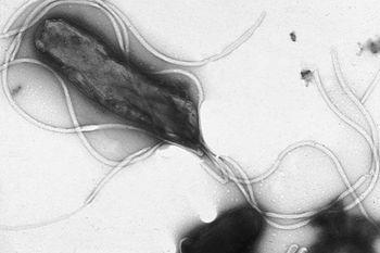 Вид Helicobacter pylori под микроскопом