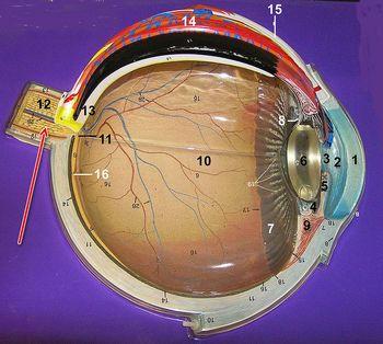 Схема устройства глаза: зрительный нерв
