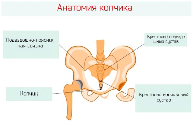 Анатомия копчика и окружающих суставов