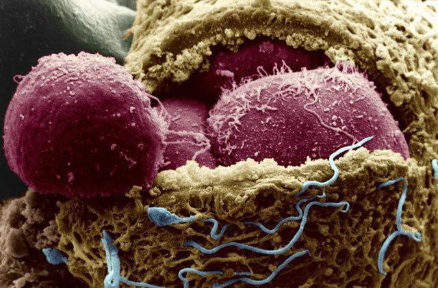 Эмбриональные стволовые клетки (красные) внутри 4-дневного эмбриона