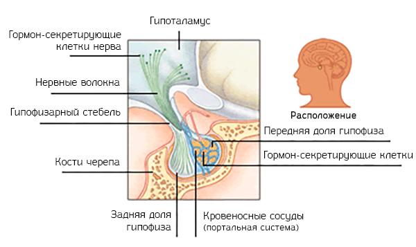 Локализация и структура гипофиза головного мозга