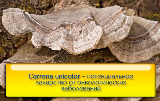 Древесный гриб Cerrena unicolor на стволе дерева – потенциальное лекарство от всех видов рака